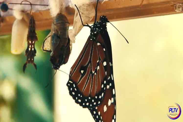 1 lam pltv mariposas