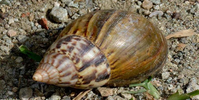 caracol gigante1