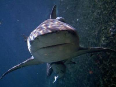 Tiburón Toro en el mar