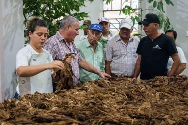 En uno de los cinco centros de procesamiento de tabaco en rama trechada (fragmentada), abiertos recientemente en el territorio, se interesó por los manejos que se le realizan a esta valiosa materia prima, destinada básicamente a la cigarrería. Foto: Acn.