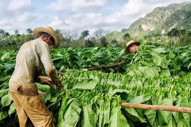 Avanza en Pinar del Río la cosecha de tabaco