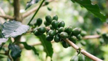 Los desechos del café podrían ayudar a combatir la obesidad y enfermedades cardiovasculares