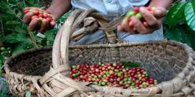 Proyecto Más Café en Cuba: producir, avanzar y preservar el Medio Ambiente