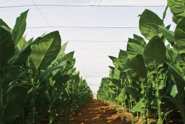 Congreso de Tabaco llega a Pinar del Río